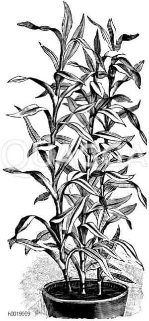 Sanders Drachenbaum Zeichnung/Illustration