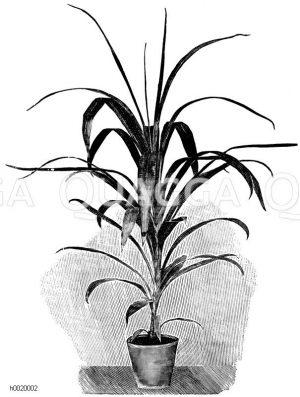 Bruants Keulenbaum Zeichnung/Illustration
