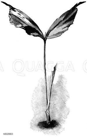 Brennpalmen- (Caryota-) Sämling Zeichnung/Illustration