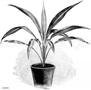 Buntblättrige Rüssellilie Zeichnung/Illustration