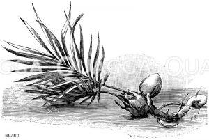 Keimling der Sagopalme Zeichnung/Illustration