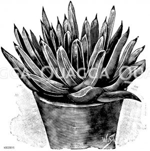 Königin Victoria-Agave Zeichnung/Illustration