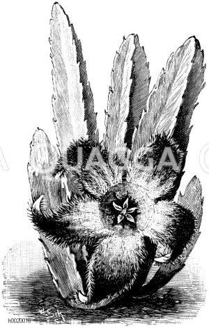 Großblumige Aaspflanze Zeichnung/Illustration