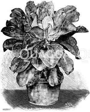 Metalisch glänzende Echeverie Zeichnung/Illustration