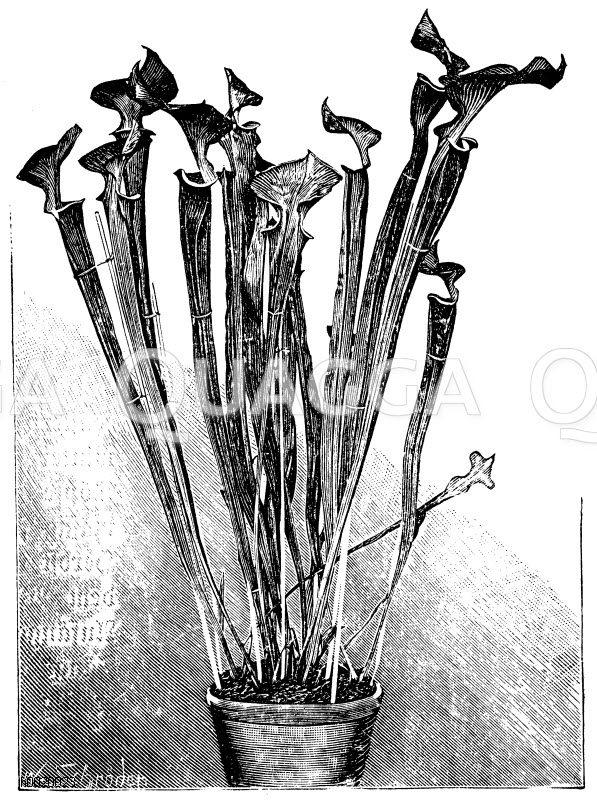 Gelbliche Sarracenie Zeichnung/Illustration