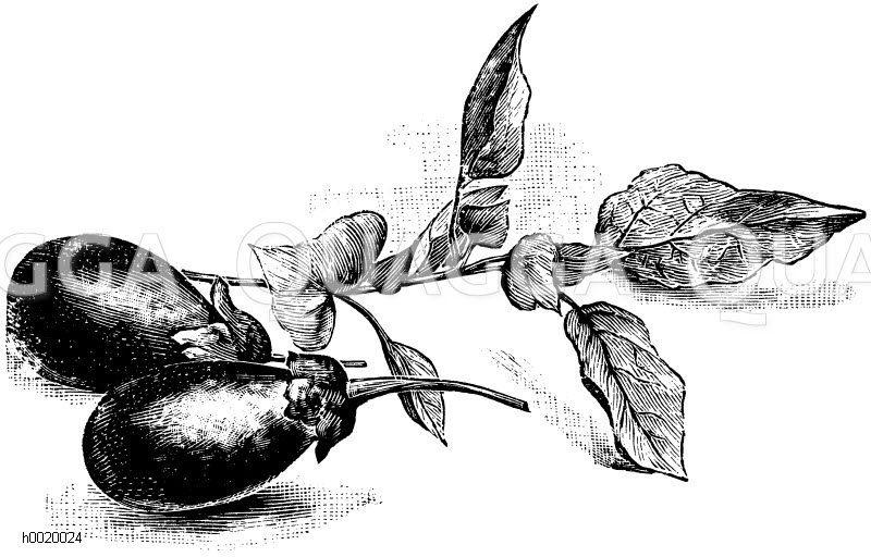 Eierfrucht