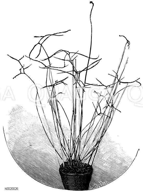 Gabelästiger Sonnentau Zeichnung/Illustration