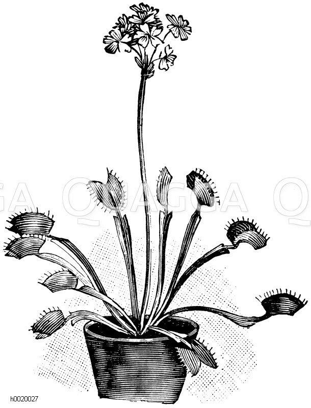 Venusfliegenfalle Zeichnung/Illustration