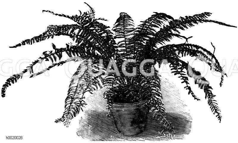 Belangers Streifenfarn Zeichnung/Illustration