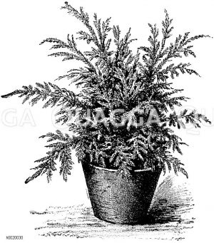 Emmels Selaginella Zeichnung/Illustration