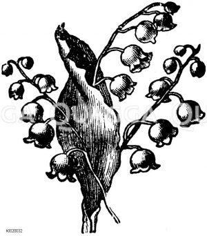 Vignette: Maiglöckchen Zeichnung/Illustration