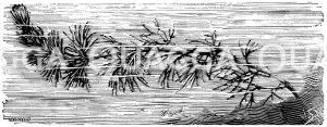 Karolinische Haarnixe Zeichnung/Illustration