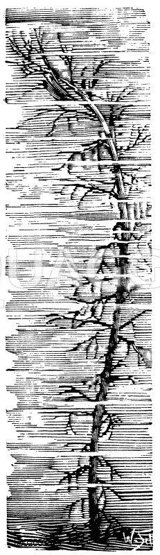 Prismakantiges Tausendblatt Zeichnung/Illustration