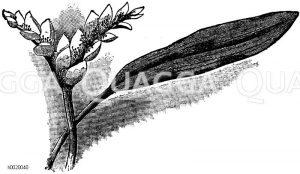 Aponogeton Wasserähre Zeichnung/Illustration