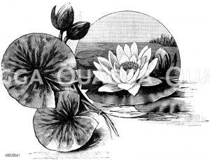 Gelbblühende Seerose Zeichnung/Illustration