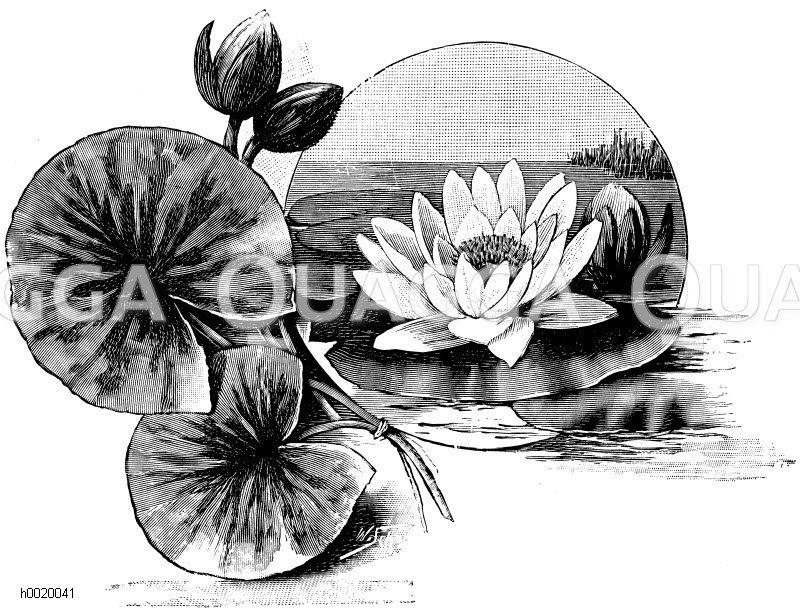 Nymphaeaceae - Seerosengewächse