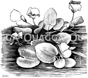 Seerosenartige Seekanne Zeichnung/Illustration