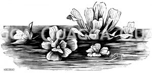 Muschelblume Zeichnung/Illustration