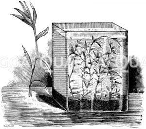 Seegrasblättrige Heteranthera