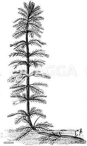 Haloragaceae - Tausendblattgewächse