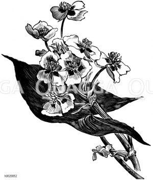 Blatt und Blüten des Pfeilkrautes von Montevideo Zeichnung/Illustration