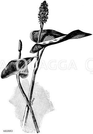 Herzblättrige Pontederia Zeichnung/Illustration
