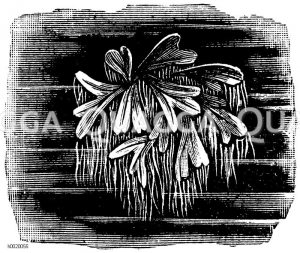 Ricciocarpus natans Zeichnung/Illustration