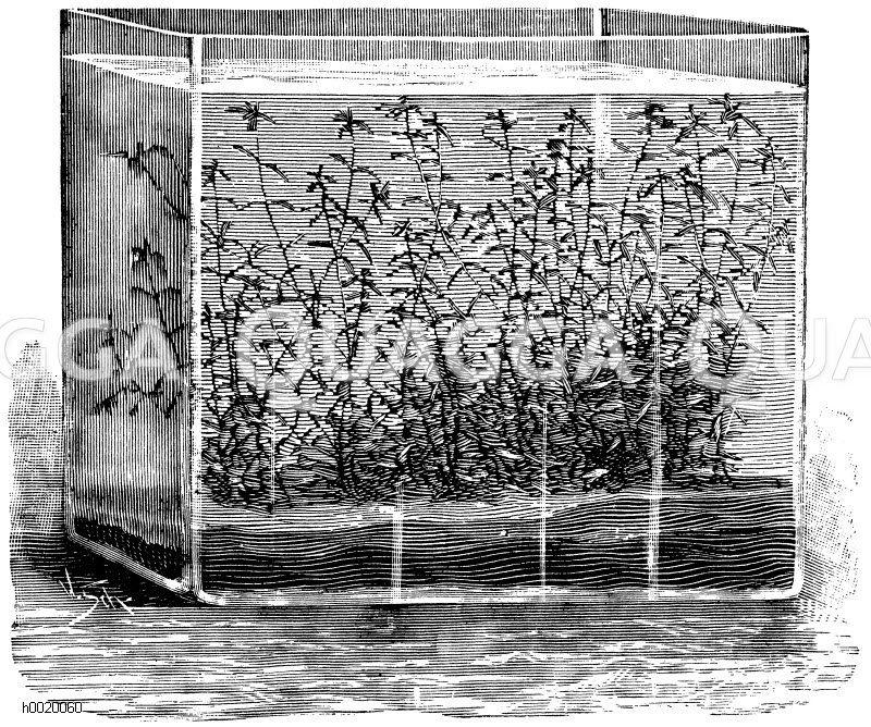 Frühlingswasserstern in einem Aquarium Zeichnung/Illustration