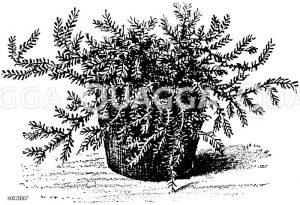 Feingesägtes Bärlappmoos Zeichnung/Illustration