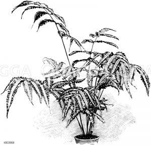Silberfläckiger Flügelfarn Zeichnung/Illustration