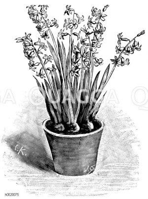 Römische Hyazinthe Zeichnung/Illustration