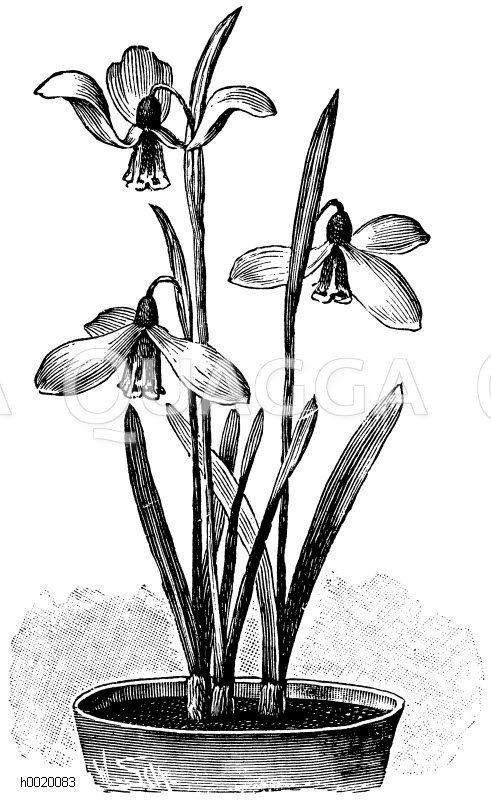 Elwes Schneeglöckchen Zeichnung/Illustration