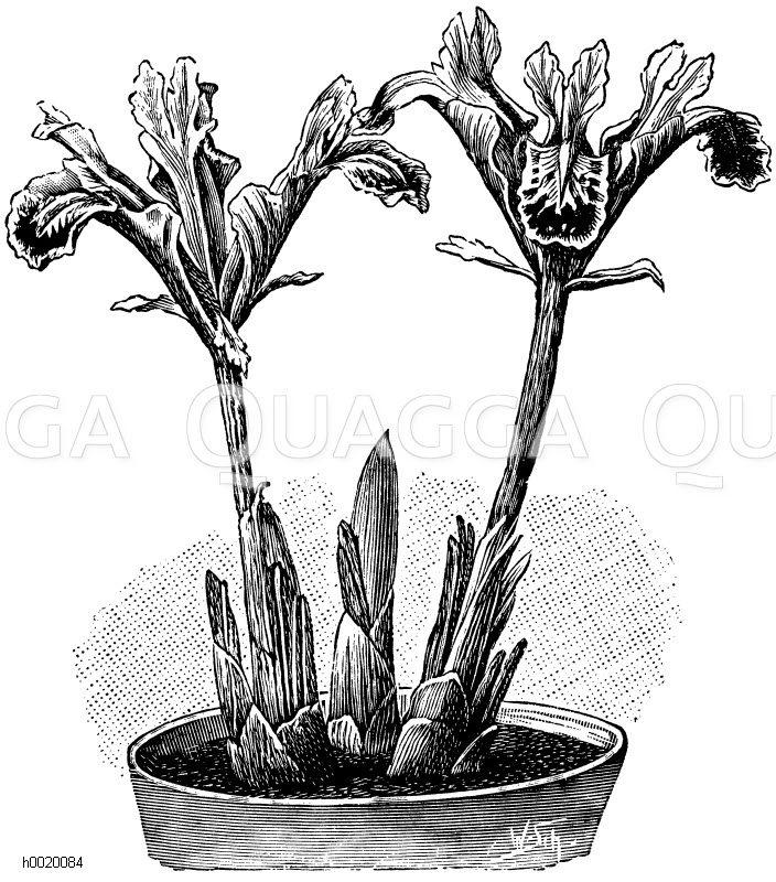 Persische Schwertlilie Zeichnung/Illustration