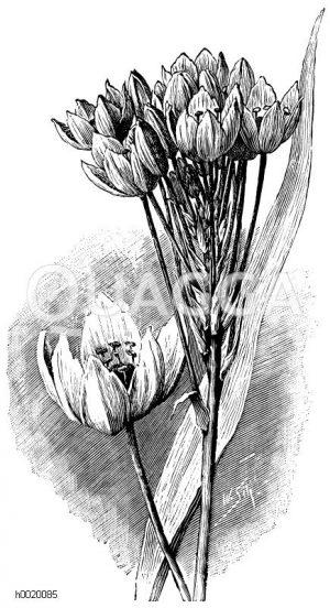 Arabische Vogelmilch Zeichnung/Illustration