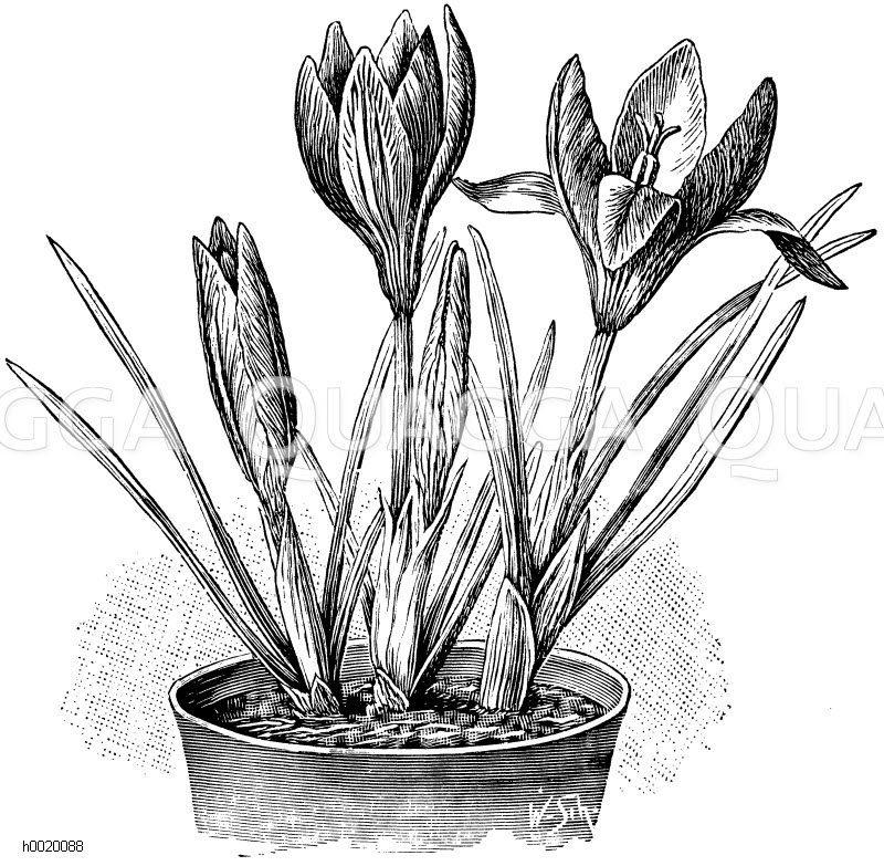 Crocus Imperati Zeichnung/Illustration