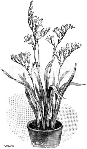 Blühende Freesie Zeichnung/Illustration
