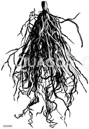Gut bewurzelter Maiblumentreibkeim Zeichnung/Illustration