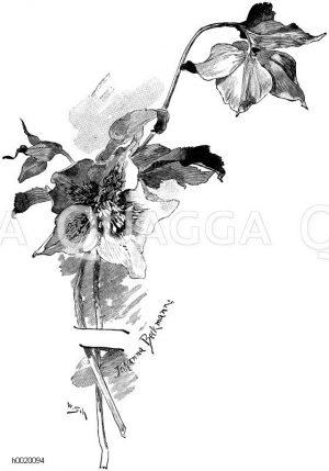 Weihnachtsrose oder Christrose Zeichnung/Illustration