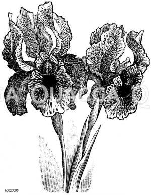 Iridaceae - Schwertliliengewächse