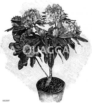 Alpenrose Zeichnung/Illustration