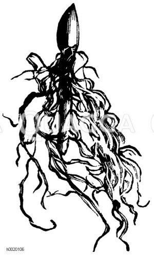 Schlecht bewurzelter Maiblumentreibkeim Zeichnung/Illustration