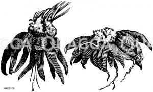 Ranunkelknöllchen Zeichnung/Illustration