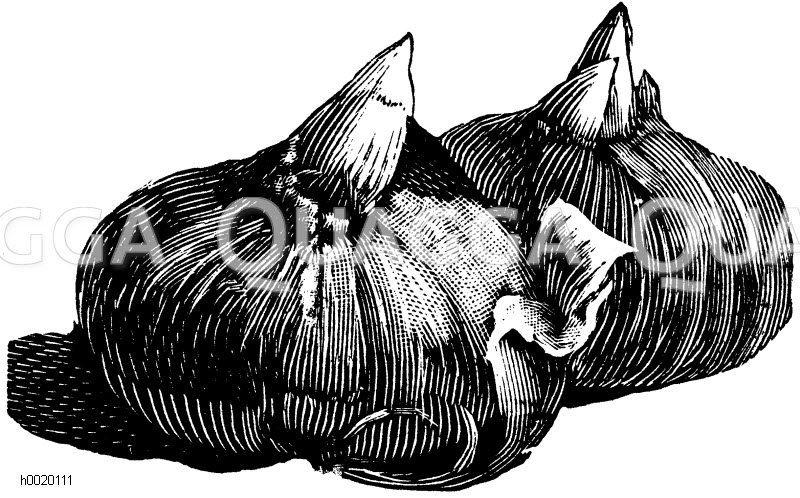 Safranknöllchen Zeichnung/Illustration