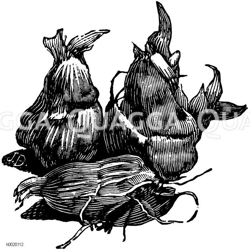 Freesienknöllchen Zeichnung/Illustration
