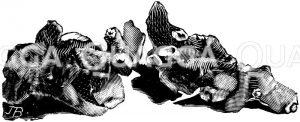 Anemonenknöllchen Zeichnung/Illustration