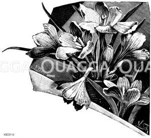 Safranblüten Zeichnung/Illustration