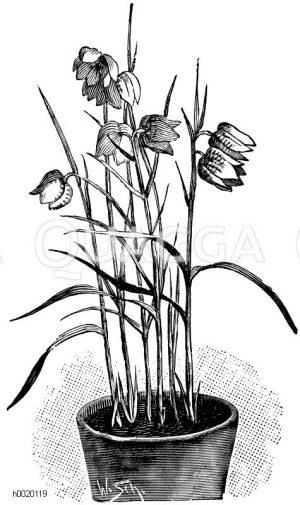 Schachbrettblume Zeichnung/Illustration