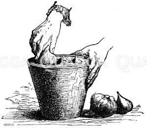 Einpflanzen der Tulpenzwiebeln Zeichnung/Illustration