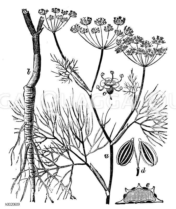 Fenchel. a Stengelgipfel. b Wurzel c Blüte Zeichnung/Illustration