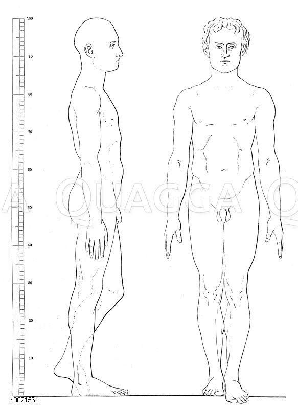 Körperproportionen eines mittelgroßen Mannes (nach Schadow) Zeichnung/Illustration